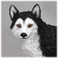 Black & White Husky with Brown Eyes detail